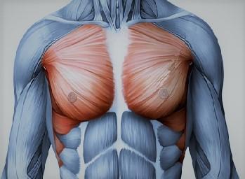 Мышцы груди человека