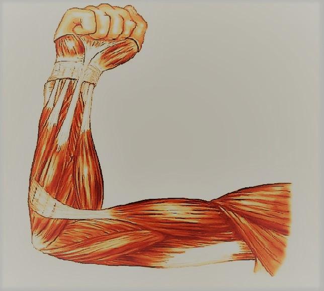 Мышцы рук человека мускулы рук