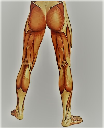 Мышцы ног человека