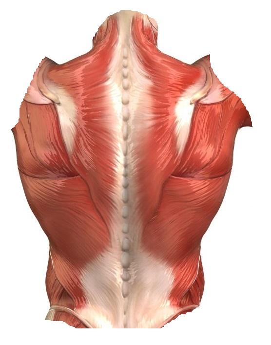 Мышцы спины человека