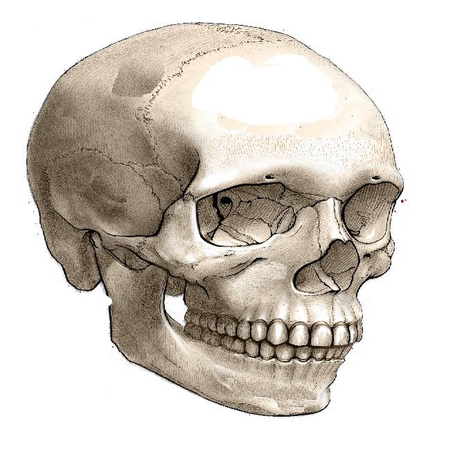 Череп головы человека