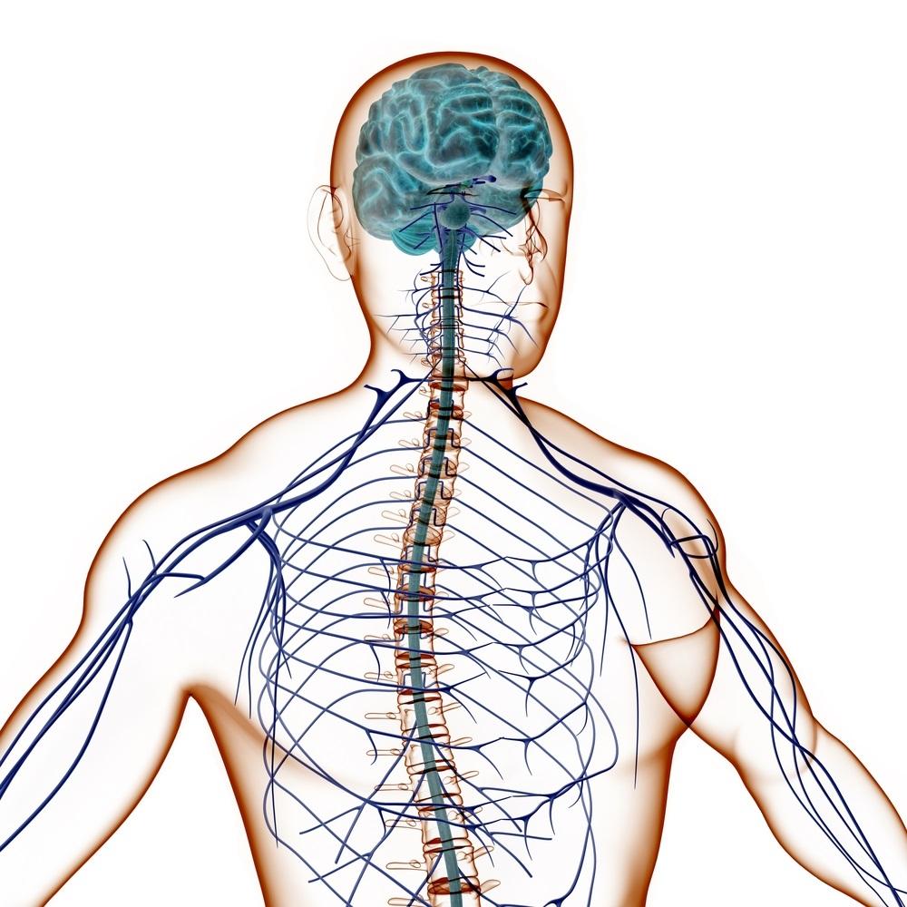 Нервная система человека, мозг человека, ЦНС, ПНС